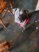 American Pit Bull Terrier Puppies for sale in Michie, TN 38357, USA. price: NA