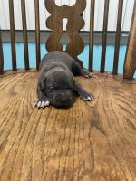 American Pit Bull Terrier Puppies for sale in Racine, WI, USA. price: NA