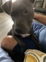 American Pit Bull Terrier Puppies for sale in Dallas, TX, USA. price: NA