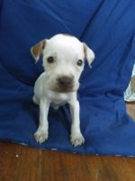 American Pit Bull Terrier Puppies for sale in Decatur, IL 62522, USA. price: NA