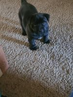 American Pit Bull Terrier Puppies for sale in Dover, OH, USA. price: NA