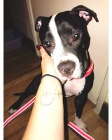 American Pit Bull Terrier Puppies for sale in Azusa, CA, USA. price: NA