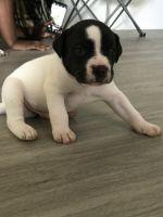 American Pit Bull Terrier Puppies for sale in Hampton, VA, USA. price: NA