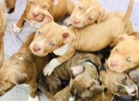 American Pit Bull Terrier Puppies for sale in Aberdeen, SD 57401, USA. price: NA