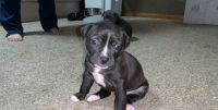 American Pit Bull Terrier Puppies for sale in Omaha, NE, USA. price: NA