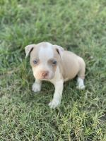 American Pit Bull Terrier Puppies for sale in Drummonds, TN 38023, USA. price: NA