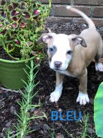 American Pit Bull Terrier Puppies for sale in Pleasant Grove, AL 35127, USA. price: NA