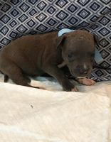 American Pit Bull Terrier Puppies for sale in Kings Mountain, NC, USA. price: NA