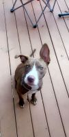 American Pit Bull Terrier Puppies for sale in 1049 W Dakin St, Chicago, IL 60613, USA. price: NA