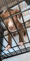American Pit Bull Terrier Puppies for sale in Lewisville, TX, USA. price: NA