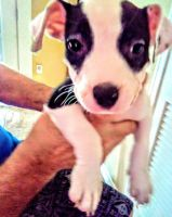 American Pit Bull Terrier Puppies for sale in Katy, TX, USA. price: NA