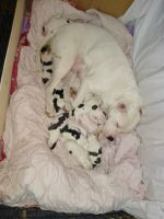 American Pit Bull Terrier Puppies for sale in Brookville, PA 15825, USA. price: NA
