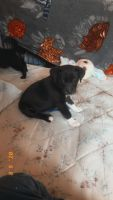 American Pit Bull Terrier Puppies for sale in Stillwater, OK, USA. price: NA
