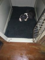 American Pit Bull Terrier Puppies for sale in 39 Gulf St, Chickasaw, AL 36611, USA. price: NA