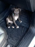 American Pit Bull Terrier Puppies for sale in San Antonio, TX, USA. price: NA