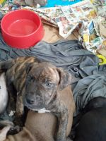 American Pit Bull Terrier Puppies for sale in 753 R S Cir, Nahunta, GA 31553, USA. price: NA