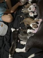 American Pit Bull Terrier Puppies for sale in Chicago, IL 60628, USA. price: NA