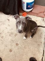 American Pit Bull Terrier Puppies for sale in Denver, CO, USA. price: NA