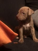 American Pit Bull Terrier Puppies for sale in Hollywood, FL, USA. price: NA