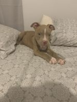 American Pit Bull Terrier Puppies for sale in Fayetteville, NC, USA. price: NA