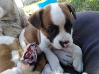American Pit Bull Terrier Puppies for sale in Halliday, ND 58636, USA. price: NA