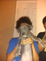 American Pit Bull Terrier Puppies for sale in Little Rock, AR, USA. price: NA