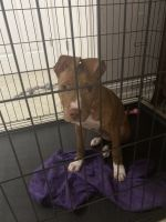 American Pit Bull Terrier Puppies for sale in Naples, FL, USA. price: NA