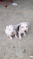 American Pit Bull Terrier Puppies for sale in Schell City, MO 64783, USA. price: NA