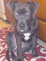 American Pit Bull Terrier Puppies for sale in Palmyra, PA 17078, USA. price: NA