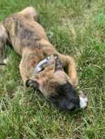 American Pit Bull Terrier Puppies for sale in Meriden, CT 06451, USA. price: NA