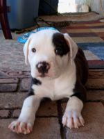 American Pit Bull Terrier Puppies for sale in Onalaska, WA, USA. price: NA