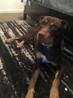 American Pit Bull Terrier Puppies for sale in Shreveport-Bossier City, LA, LA, USA. price: NA