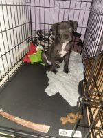 American Pit Bull Terrier Puppies for sale in The Bronx, NY, USA. price: NA