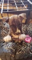 American Pit Bull Terrier Puppies for sale in 8650 Pitner Rd, Houston, TX 77080, USA. price: NA