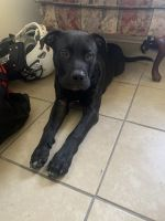 American Pit Bull Terrier Puppies for sale in Jacksonville, FL, USA. price: NA