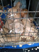 American Pit Bull Terrier Puppies for sale in White Plains, NY, USA. price: NA