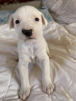 American Pit Bull Terrier Puppies for sale in Lubbock, TX, USA. price: NA