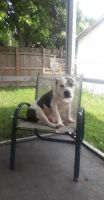 American Pit Bull Terrier Puppies for sale in North Lauderdale, FL, USA. price: NA