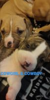 American Pit Bull Terrier Puppies for sale in Salt Lake City, UT, USA. price: NA