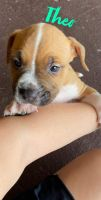 American Pit Bull Terrier Puppies for sale in NEW PRT RCHY, FL 34653, USA. price: NA