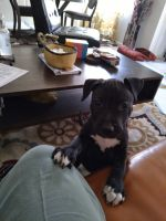 American Pit Bull Terrier Puppies for sale in Greenbelt, MD, USA. price: NA