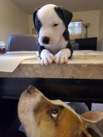 American Pit Bull Terrier Puppies for sale in Litchfield Park, AZ 85340, USA. price: NA