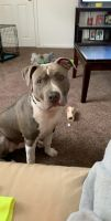 American Pit Bull Terrier Puppies for sale in Philadelphia, PA, USA. price: NA