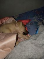 American Pit Bull Terrier Puppies for sale in 4169 Hanes Dr, Decatur, GA 30035, USA. price: NA