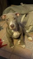 American Pit Bull Terrier Puppies for sale in Brooklyn, NY 11236, USA. price: NA