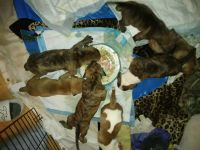 American Pit Bull Terrier Puppies for sale in St Cloud, FL 34769, USA. price: NA