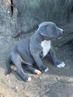 American Pit Bull Terrier Puppies for sale in Orange, TX, USA. price: NA