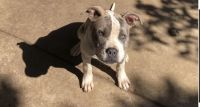 American Pit Bull Terrier Puppies for sale in Newark, OH, USA. price: NA