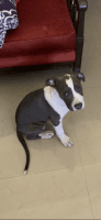 American Pit Bull Terrier Puppies for sale in Edinburg, TX, USA. price: NA
