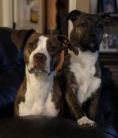 American Pit Bull Terrier Puppies for sale in Southaven, MS, USA. price: NA